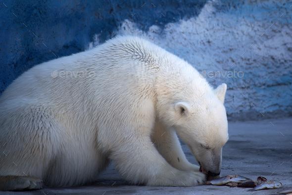 Polar bear - Stock Photo - Images