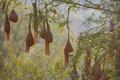 Baya weaver or Ploceus philippinus nesting colony - PhotoDune Item for Sale