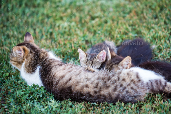 Mother cat feeding her kitten children outdoors - Stock Photo - Images