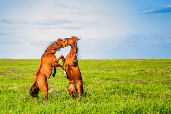 Fighting wild stallions on summer meadow - Stock Photo - Images