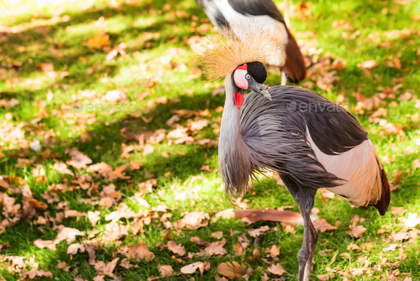 Grey Crowned Crane or Balearica pavonina in zoo - Stock Photo - Images