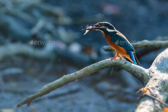 Kingfisher or Alcedo atthis with insect in beak perches on branch - Stock Photo - Images