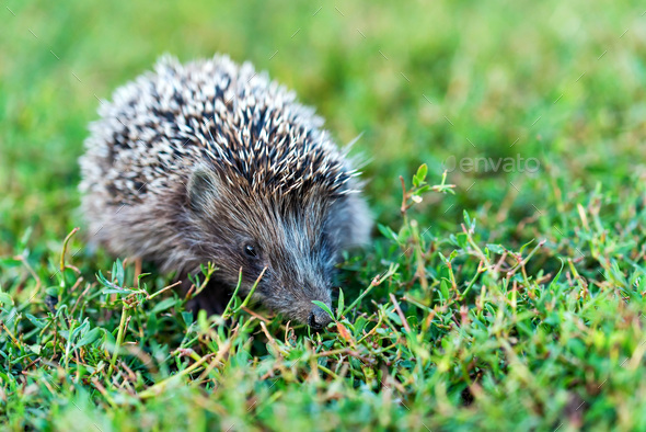 Lovely hedgehog or Erinaceus roumanicus on grass - Stock Photo - Images