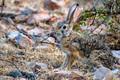 Indian hare or black-naped hare, Lepus nigricollis - PhotoDune Item for Sale