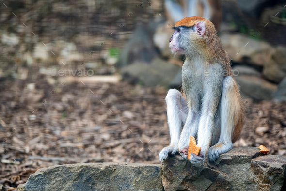 Patas Monkey or Erythrocebus patas eats bread in captivity - Stock Photo - Images