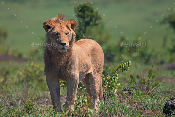 Young male lion - Stock Photo - Images