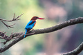 White-throated kingfisher or Halcyon smyrnensis - PhotoDune Item for Sale