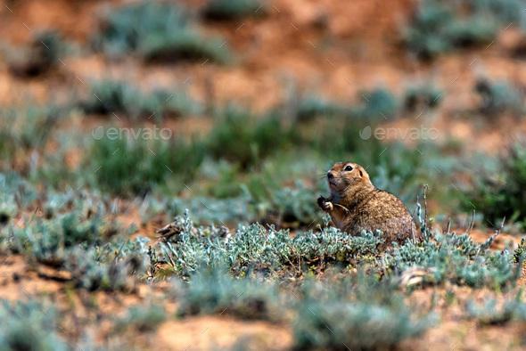 Little ground squirrel or Spermophilus pygmaeus - Stock Photo - Images