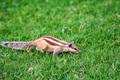 Northern palm squirrel or Funambulus pennantii - PhotoDune Item for Sale