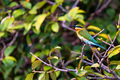 Blue-tailed Bee-eater or Merops philippinus perches on tree branch - PhotoDune Item for Sale