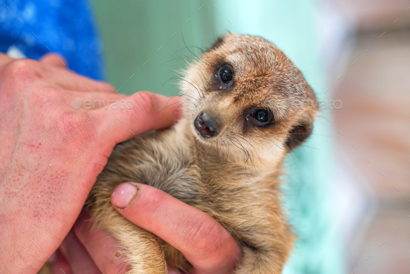 Portrait of domestic meerkat or Suricata suricatta in human hands - Stock Photo - Images
