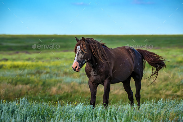 Wild stallion grazing on summer meadow - Stock Photo - Images