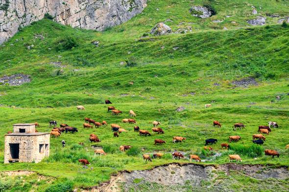 Cows graze in alpine meadows idyllic landscape - Stock Photo - Images