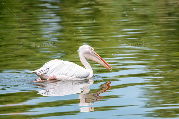 Great white pelican or Pelecanus onocrotalus in water - Stock Photo - Images