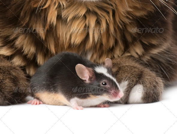 Close-up of Maine Coon and mouse, 7 months old, sitting in front of white background - Stock Photo - Images
