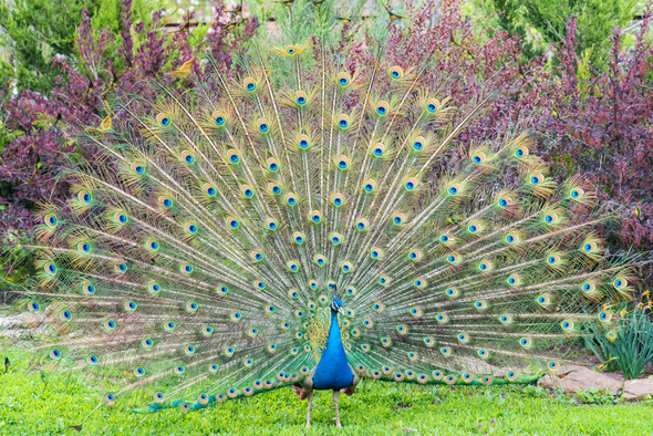 Close up male peacock with fully unfolded feathers of his tail - Stock Photo - Images