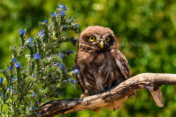 Little owl or Athene noctua perched on branch - Stock Photo - Images
