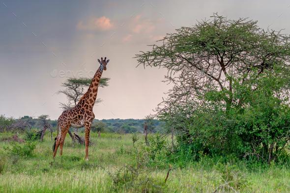 Giraffe in sunset savanna - Stock Photo - Images
