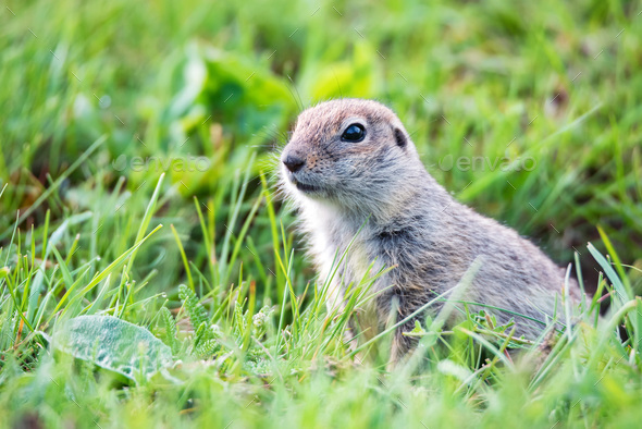 Mountain Caucasian Gopher or Spermophilus musicus in grass in Russia - Stock Photo - Images