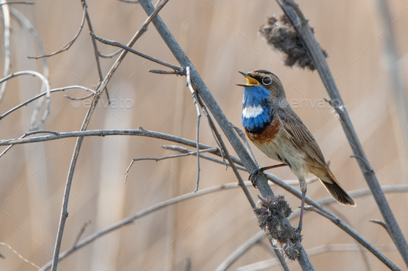 Bluethroat or Luscinia svecica - Stock Photo - Images