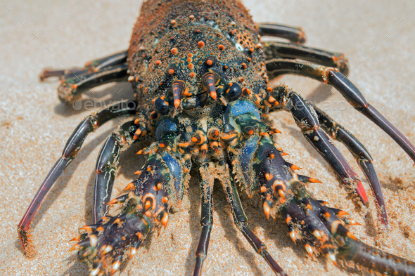Live lobster on beach - Stock Photo - Images