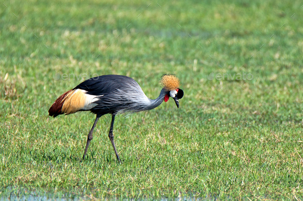 Grey crowned crane - Stock Photo - Images