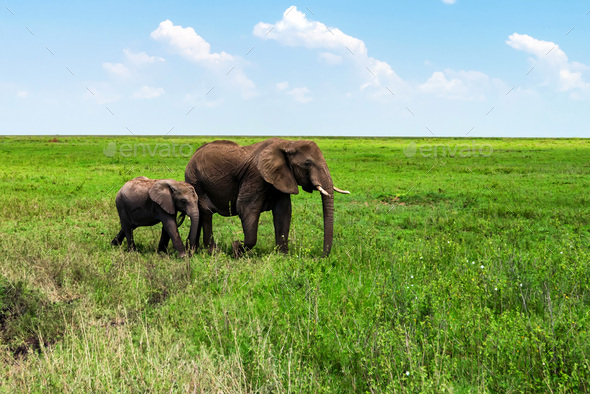 African elephants or Loxodonta cyclotis in nature - Stock Photo - Images