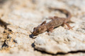 Close up cute small Even-fingered gecko genus Alsophylax on stone - PhotoDune Item for Sale