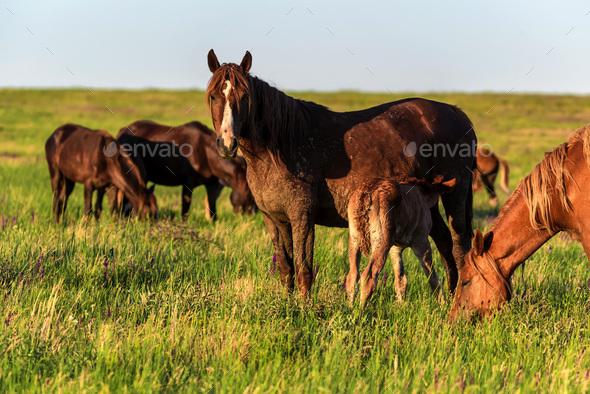 Wild horses graze in the sunlit meadow - Stock Photo - Images
