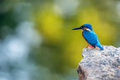 Kingfisher or Alcedo atthis taprobana - PhotoDune Item for Sale