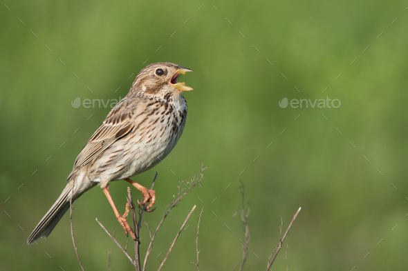 Corn bunting (Miliaria calandra) on a twig - Stock Photo - Images