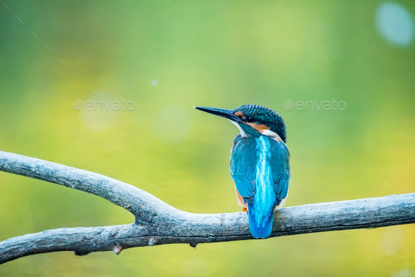 Kingfisher or Alcedo atthis perches on branch with blurred green background - Stock Photo - Images