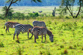 Zebras grazing in savanna - PhotoDune Item for Sale