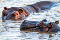 Close hippo or Hippopotamus amphibius in water - PhotoDune Item for Sale