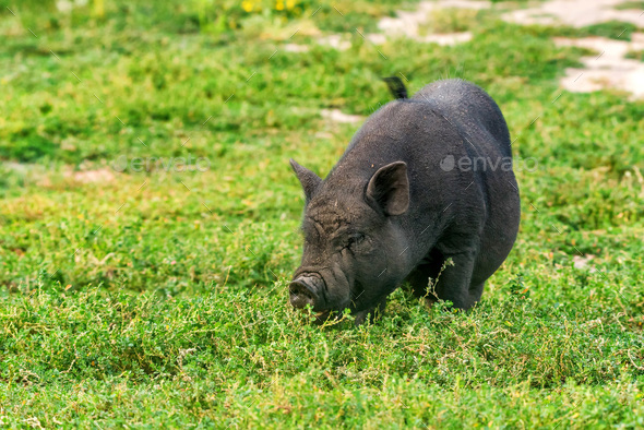 Cute black funny active Vietnamese pig outdoor - Stock Photo - Images