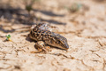 Steppe Runner Lizard or Eremias arguta on dry ground close - PhotoDune Item for Sale