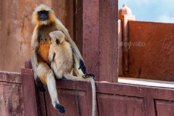Mother and child of Gray langur or Semnopithecus etellus - Stock Photo - Images