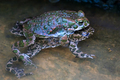 Green toads mating - PhotoDune Item for Sale