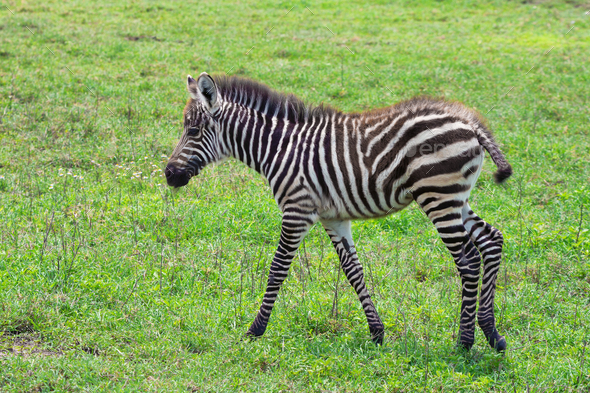 Zebra foal - Stock Photo - Images