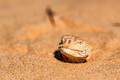 Spotted toad-headed Agama buried in sand close - PhotoDune Item for Sale