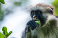 Zanzibar red colobus or Procolobus kirkii - PhotoDune Item for Sale
