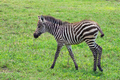Zebra foal - PhotoDune Item for Sale
