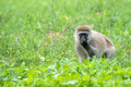 Vervet monkey or Chlorocebus pygerythrus - PhotoDune Item for Sale