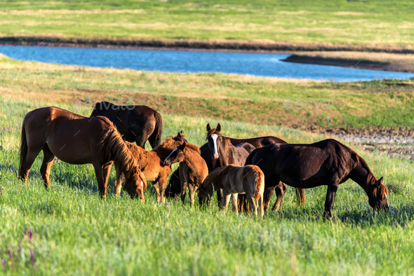 Wild horses and foals graze in the sunlit meadow - Stock Photo - Images