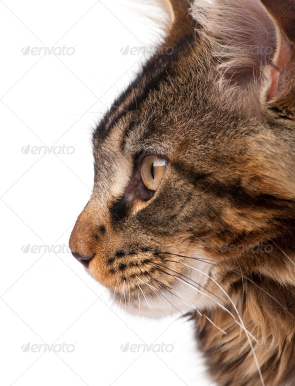 Side view of Maine Coon, 7 months old, in front of white background - Stock Photo - Images