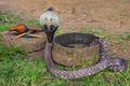 Indian cobra or Naja - PhotoDune Item for Sale