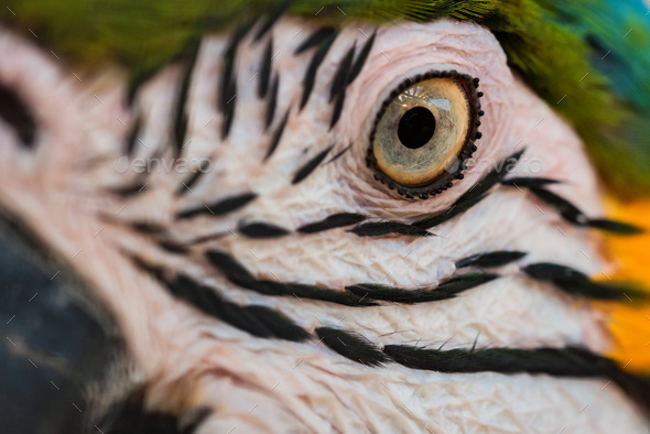 Eye of Blue-and-yellow macaw or Ara ararauna close up - Stock Photo - Images
