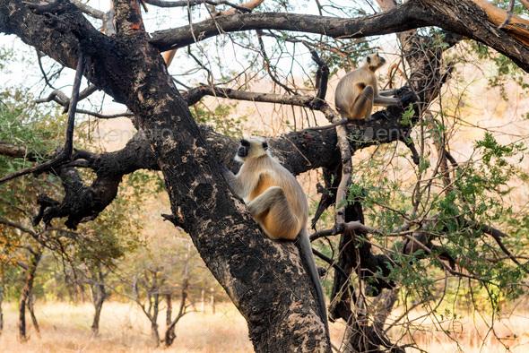 Gray langurs or Hanuman langurs on tree - Stock Photo - Images