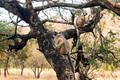 Gray langurs or Hanuman langurs on tree - PhotoDune Item for Sale