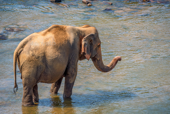 Elephant bathing in river - Stock Photo - Images